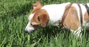 Perro Jack Russell Terrier que come la hierba afuera almacen de video