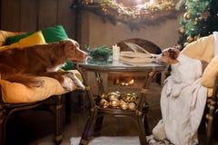 Perro Jack Russell Terrier y perro Nova Scotia Duck Tolling Retriever Estación 2017, Año Nuevo de la Navidad Foto de archivo
