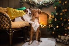 Perro Jack Russell Terrier y perro Nova Scotia Duck Tolling Retriever Estación 2017, Año Nuevo de la Navidad Imagenes de archivo