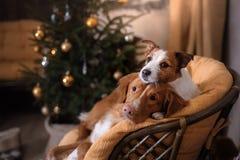 Perro Jack Russell Terrier y perro Nova Scotia Duck Tolling Retriever Estación 2017, Año Nuevo de la Navidad Imágenes de archivo libres de regalías