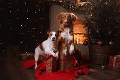 Perro Jack Russell Terrier y perro Nova Scotia Duck Tolling Retriever Feliz Año Nuevo, la Navidad Fotografía de archivo libre de regalías