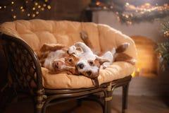 Perro Jack Russell Terrier y perro Nova Scotia Duck Tolling Retriever Feliz Año Nuevo, la Navidad, animal doméstico en el cuarto  Foto de archivo