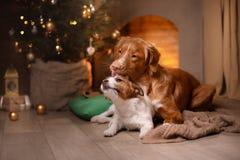 Perro Jack Russell Terrier y perro Nova Scotia Duck Tolling Retriever Feliz Año Nuevo, la Navidad, animal doméstico en el cuarto  Fotos de archivo