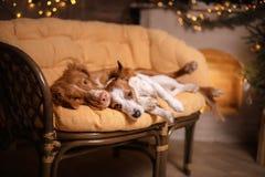 Perro Jack Russell Terrier y perro Nova Scotia Duck Tolling Retriever Feliz Año Nuevo, la Navidad, animal doméstico en el cuarto  Fotografía de archivo libre de regalías