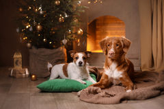 Perro Jack Russell Terrier y perro Nova Scotia Duck Tolling Retriever Feliz Año Nuevo, la Navidad, animal doméstico en el cuarto  Imagenes de archivo