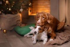 Perro Jack Russell Terrier y perro Nova Scotia Duck Tolling Retriever Feliz Año Nuevo, la Navidad, animal doméstico en el cuarto  Fotos de archivo libres de regalías