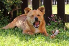 Perro jackaranian del pequeño híbrido lindo que bosteza Fotografía de archivo