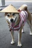 Perro japonés Foto de archivo libre de regalías