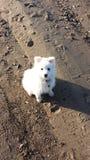 Perro japonés del perro de Pomerania Fotografía de archivo libre de regalías