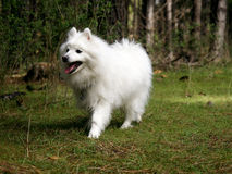 Perro japonés del perro de Pomerania en bosque de la seta Foto de archivo libre de regalías