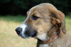 Perro joven Foto de archivo libre de regalías