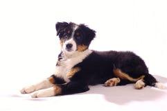 Perro joven Fotografía de archivo libre de regalías