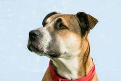 Perro joven de la raza mezclada grande con los oídos flojos, con un cuello rojo Imagenes de archivo