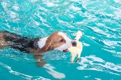 Perro joven del beagle que juega el juguete en la piscina Imagen de archivo libre de regalías