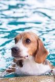 Perro joven del beagle que juega el juguete en la piscina Foto de archivo