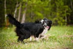 Perro joven del border collie Imagen de archivo