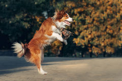 Perro joven del border collie Foto de archivo