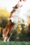 Perro joven del border collie que juega con las hojas en otoño Fotografía de archivo