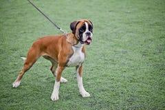 Perro joven del boxeador Imágenes de archivo libres de regalías