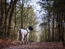 Perro joven del d'Auvergne de Braque Imagen de archivo