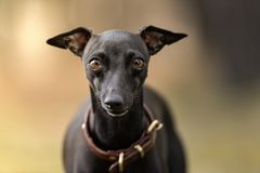 Perro joven del galgo italiano con el fondo unfocused imagen de archivo