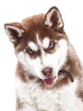 Perro joven del husky siberiano Imagenes de archivo
