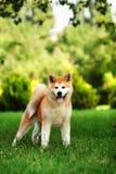 Perro joven del inu de Akita que se coloca al aire libre en hierba verde Imagen de archivo