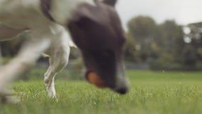 Perro joven del lebrel que trae la bola en el parque, cámara lenta almacen de video