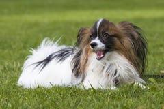Perro joven del papillion en la hierba Fotografía de archivo libre de regalías