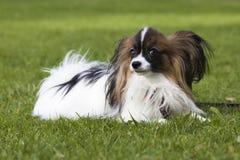 Perro joven del papillion en la hierba Fotos de archivo