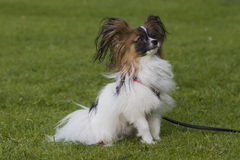 Perro joven del papillion en la hierba Imagenes de archivo