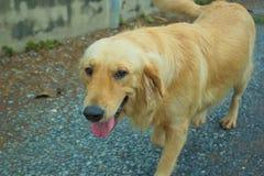 Perro joven del perro perdiguero de oro Imagen de archivo libre de regalías