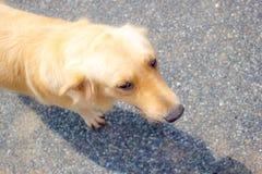 Perro joven del perro perdiguero de oro Fotografía de archivo libre de regalías