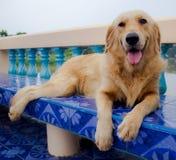 Perro joven del perro perdiguero de oro Foto de archivo