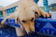Perro joven del perro perdiguero de oro Imagen de archivo