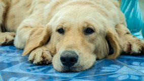 Perro joven del perro perdiguero de oro Imagenes de archivo