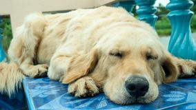 Perro joven del perro perdiguero de oro Imágenes de archivo libres de regalías