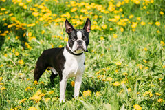 Perro joven divertido de Boston bull terrier al aire libre en prado verde de la primavera imagenes de archivo