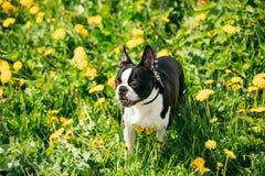 Perro joven divertido de Boston bull terrier al aire libre en prado verde de la primavera imagen de archivo