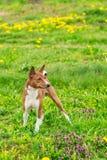 Perro joven hermoso de Basenji fotografía de archivo libre de regalías