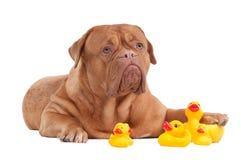Perro joven lindo que juega con los patos amarillos Fotos de archivo libres de regalías