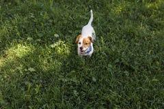 Perro joven lindo que se divierte en un parque al aire libre El tiempo de primavera… subió las hojas, fondo natural Verde Imágenes de archivo libres de regalías