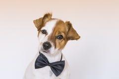 Perro joven lindo sobre el fondo blanco que lleva un bowtie y un lookin Fotografía de archivo