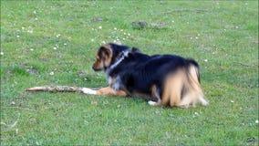 Perro joven que juega con un palillo de madera metrajes