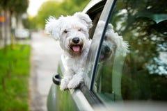 Perro joven que mira hacia fuera la ventanilla del coche imagenes de archivo