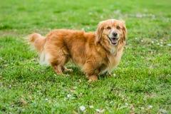 Perro juguetón del pequeño marrón mezclado lindo de la raza fotos de archivo
