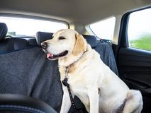 Perro labrador con cinturón de seguridad en interior de un coche. stock photography