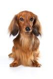 Perro largo del conejo del Dachshund Fotografía de archivo libre de regalías
