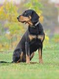 Perro letón en el otoño Imágenes de archivo libres de regalías