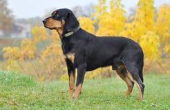 Perro letón en el otoño Imagen de archivo libre de regalías